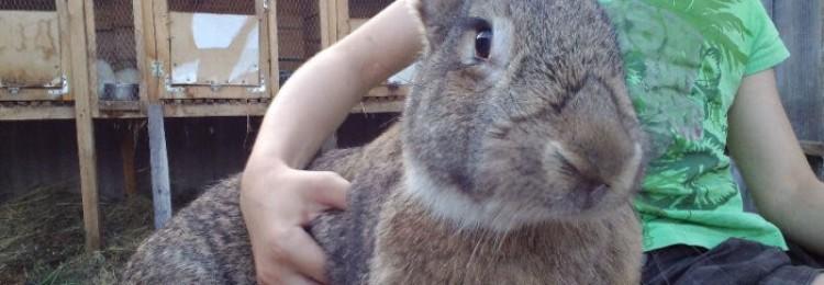 Все о кроликах породы Обер