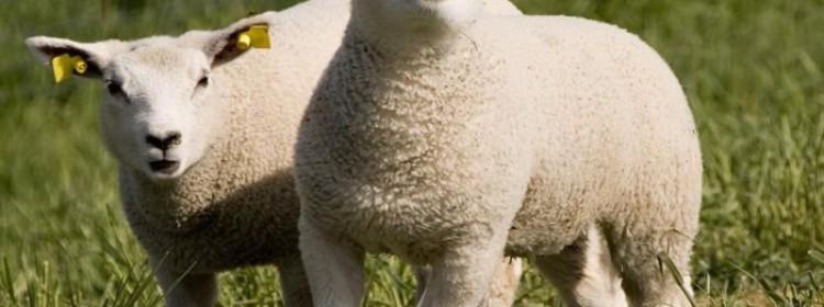 Восточно-фризская порода овец