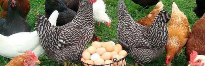 Почему куры несут маленькие яйца?