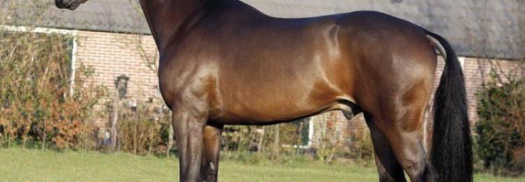 Голландская теплокровная порода лошадей