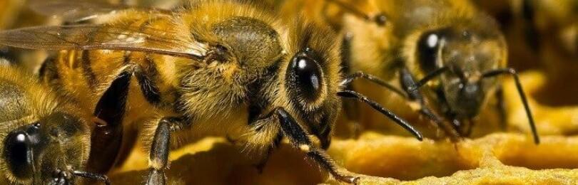 Сколько живут пчелы и от чего это зависит?