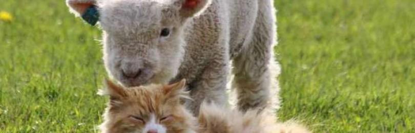 Карликовые мини-овцы