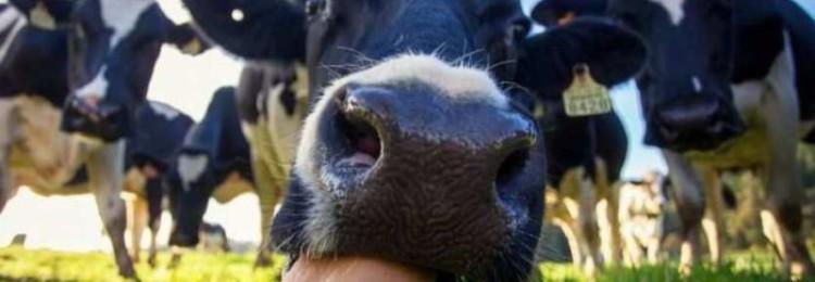 Как правильно раздоить корову после отела?