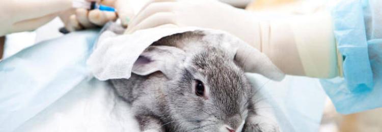 Как кастрировать кроликов?
