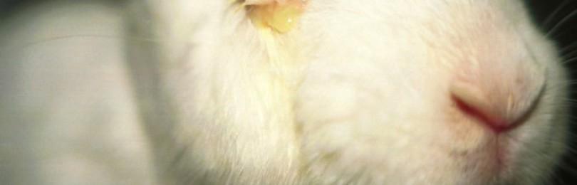 Болезни глаз у кроликов и их лечение