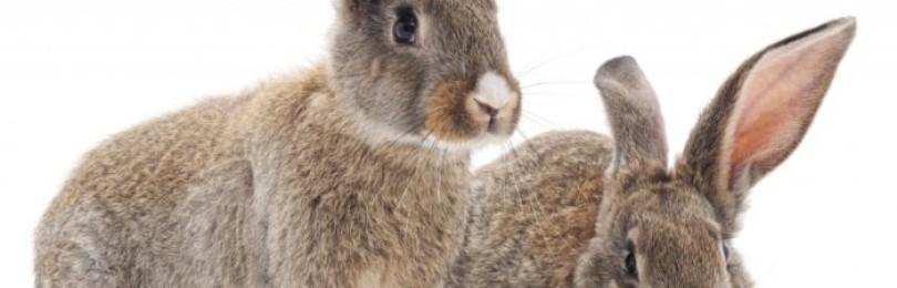 Почему у кролика упало ухо?