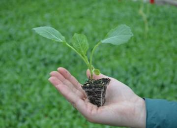 Когда сеять капусту на рассаду?