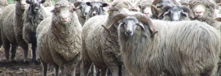 Кавказская и северокавказская овцы