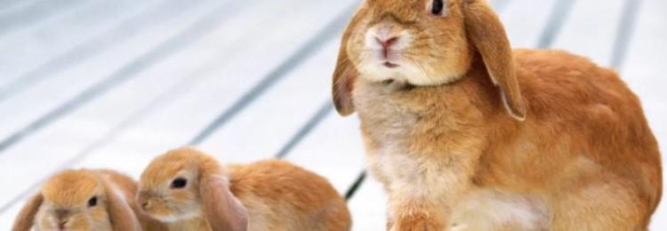 Сколько длится беременность крольчихи и как протекают роды?