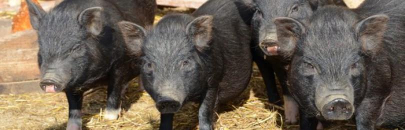 Как сделать загон для свиней?
