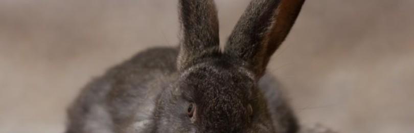 Как проявляется пастереллёз у кроликов?