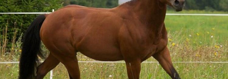 Кватерхорс порода лошадей
