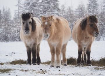 Разведение лошадей на мясо
