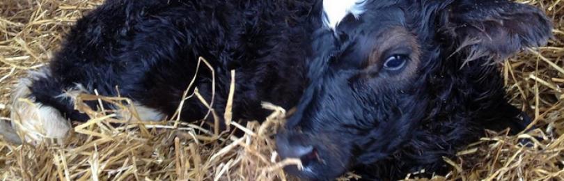 Кашель у коровы причины и лечение