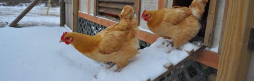 Оптимальная температура в курятнике для кур несушек