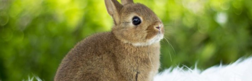Порода кролика цветной карлик
