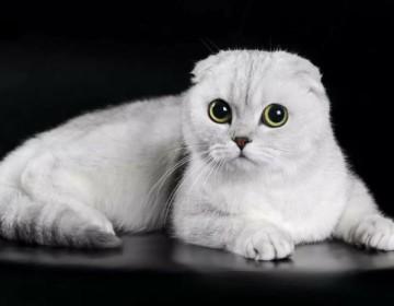 Шотландская вислоухая кошка (скоттиш-фолд)