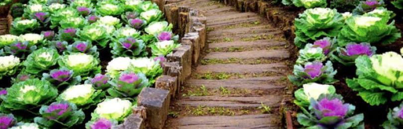 Как вырастить декоративную капусту?
