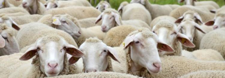 Западно-сибирская мясная порода овец
