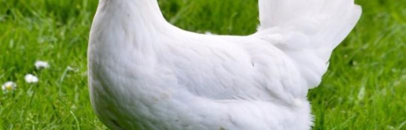 Куры породы Карликовый Леггорн – «идеальные несушки»
