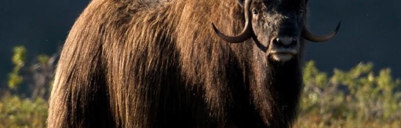 Мускусный бык