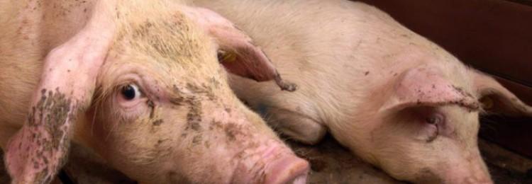 Цирковирус у свиней
