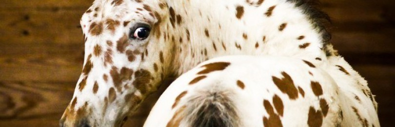 Чубарая масть лошади