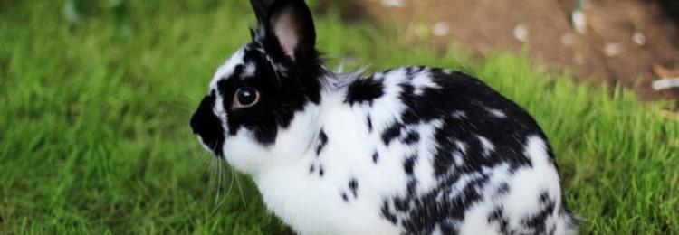Породы кроликов для домашнего разведения