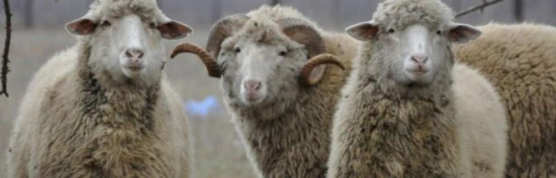 Описание Цигайской породы овец