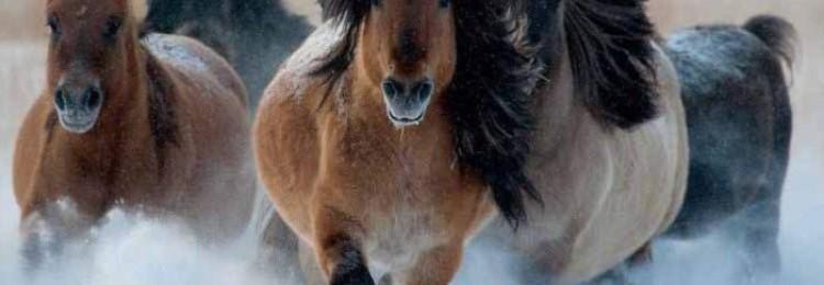 Порода лошадей якутская — происхождение, описание, использование