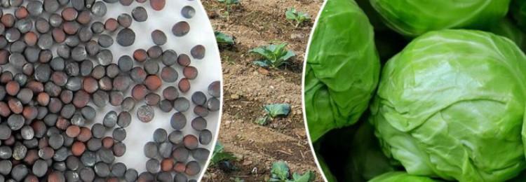 Безрассадный метод выращивания капусты