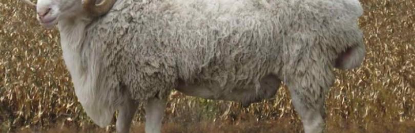 Обзор грубошерстных пород овец