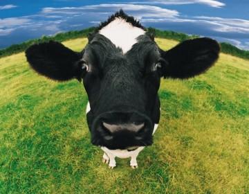 Голландская порода коров