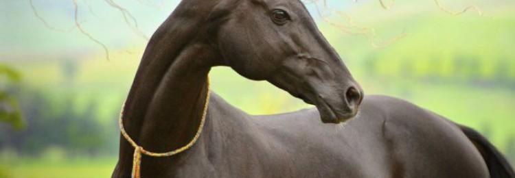 Самая красивая лошадь