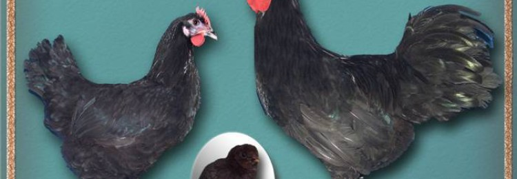 Панциревская порода кур