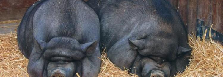 Корейские свиньи