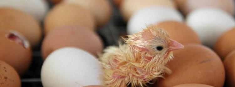 Инкубация куриных яиц: режим инкубации