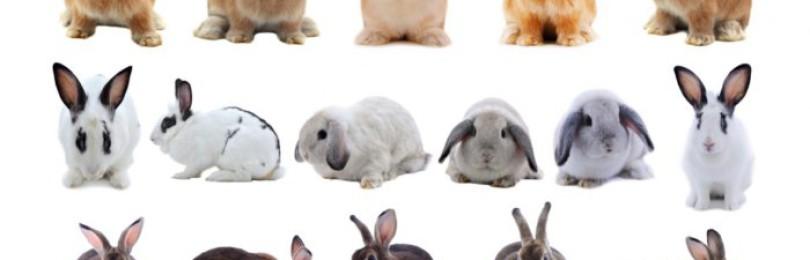 Как правильно скрещивать кроликов?