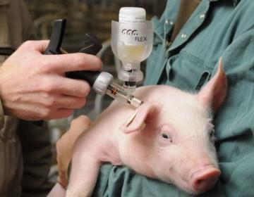Какие бывают инфекционные болезни у свиней?