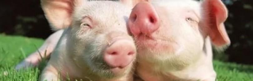 Препарат Фелуцен для свиней