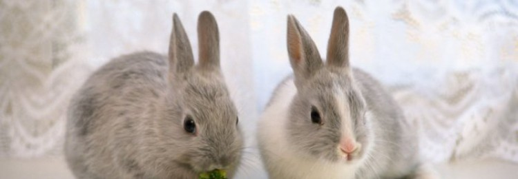 Чем отличается декоративный кролик от обычного?