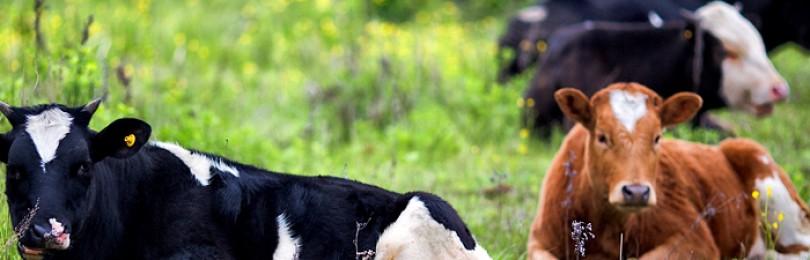 Что делать если корова не покрывается?
