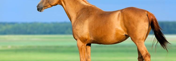 Лошади рыжая масть