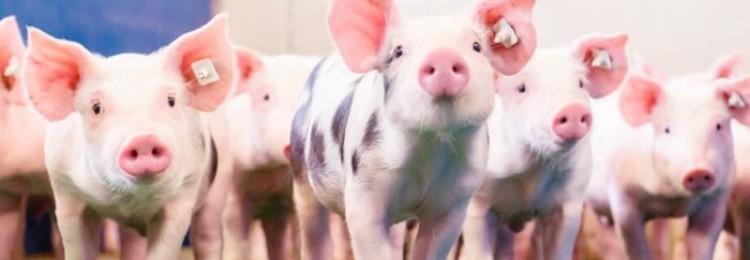 Клостридиоз свиней