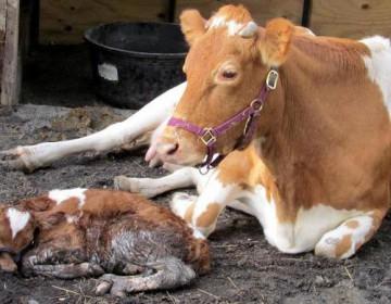 Корова отелилась: что делать дальше?