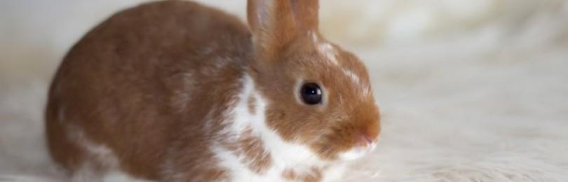 Кролик хрюкает