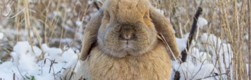 Особенности содержания кроликов на улице зимой