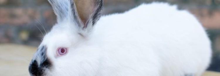 Особенности кроликов породы Хиплус