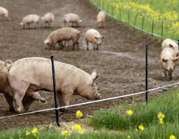 Виды и технология откорма свиней