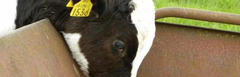 Что делать если у коровы встал желудок